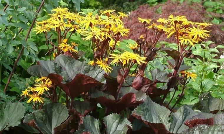 plantas de sombra ligularia