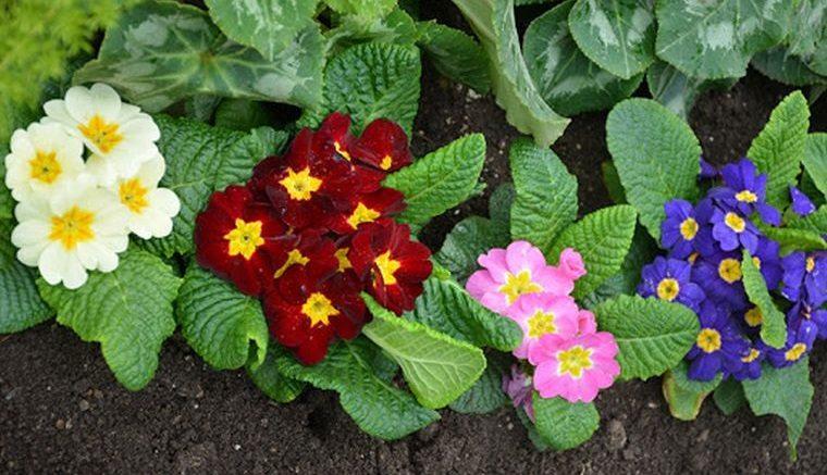 plantas de sombra primrose