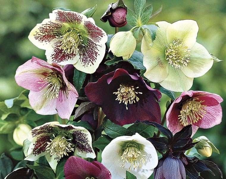 plantas de sombra rosas de cuaresma