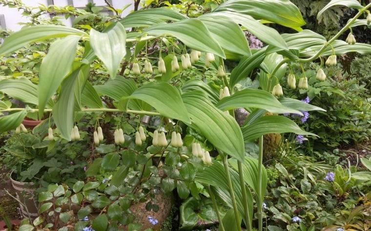 plantas de sombra sello de salomon