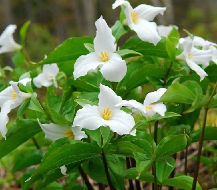 plantas de sombra trillium