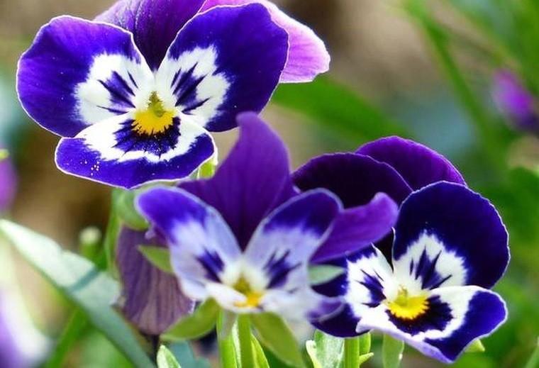 plantas de sombra viola