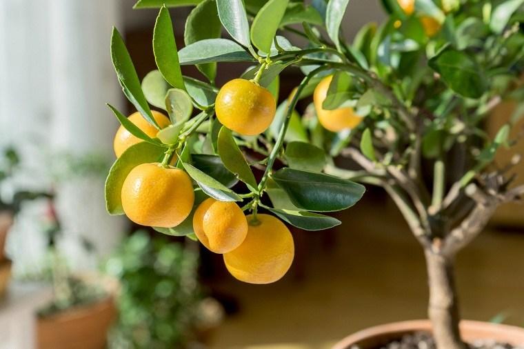 Limonero-en-maceta-citricos-casa