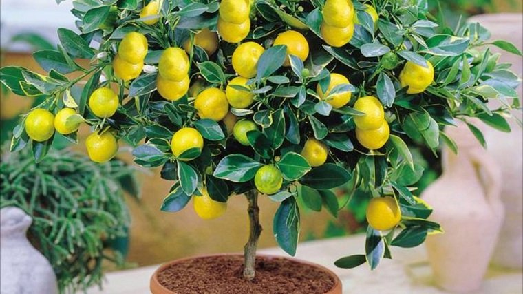 Limonero en maceta-cultivar-casa