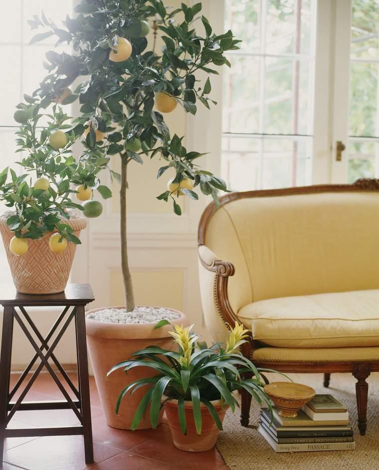 Limonero en maceta-cultivar-consejos