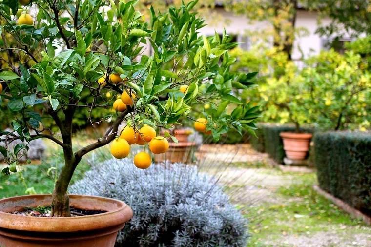 Limonero en maceta-cultivar-jardin