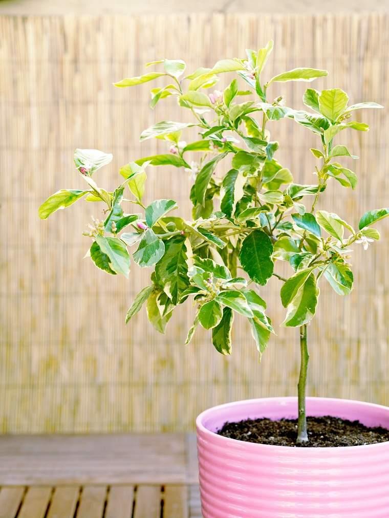 Limonero-en-maceta-cultivar-regar