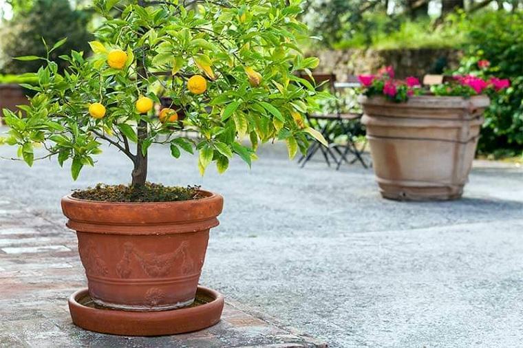 Limonero-en-maceta-cultivar
