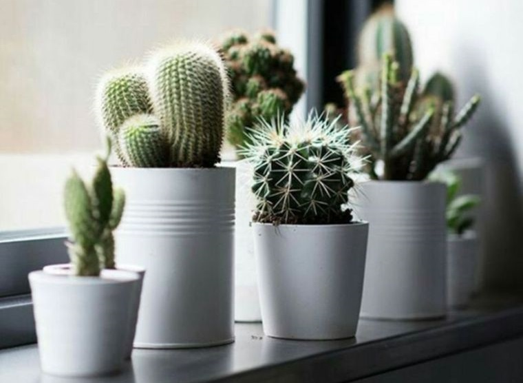 cactus de interior diferentes tipos