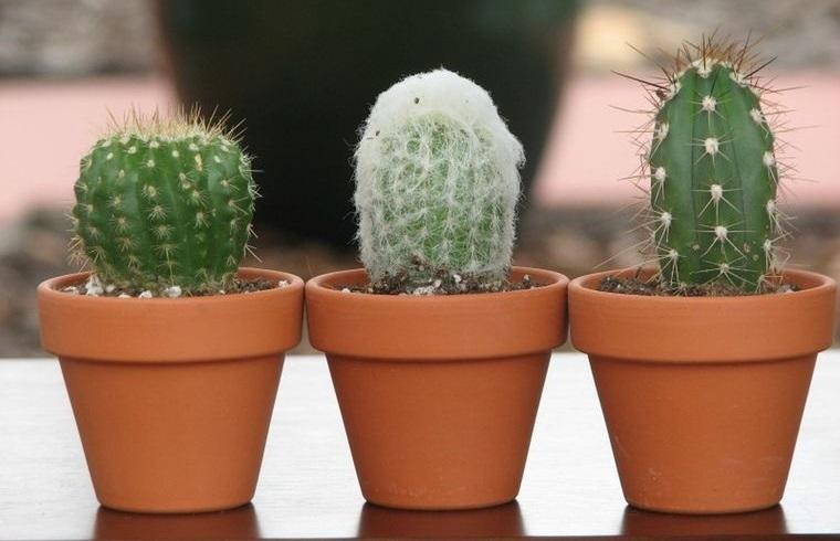 cactus de interior macetas de barro