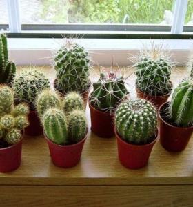 cactus de interior para dar vida al espacio