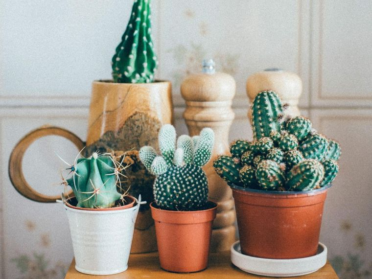 cómo cuidar un cactus adecuadamente