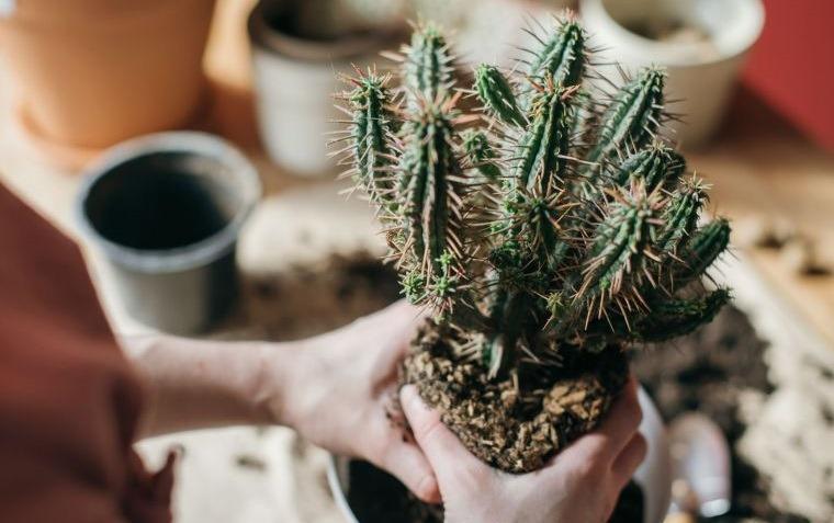 cómo cuidar un cactus cambio de maceta