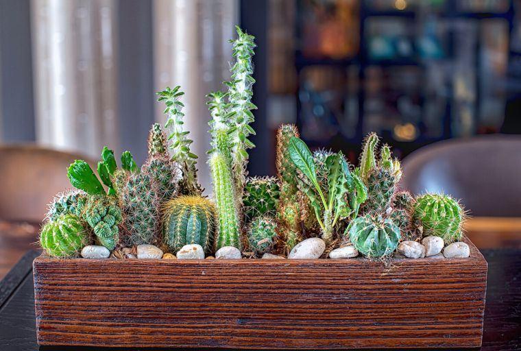 cómo cuidar un cactus para decorar
