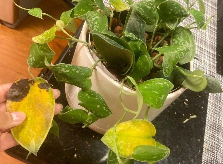 cómo regar las plantas evitar hojas amarillas