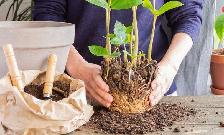 cómo trasplantar una planta ayuda crecimiento