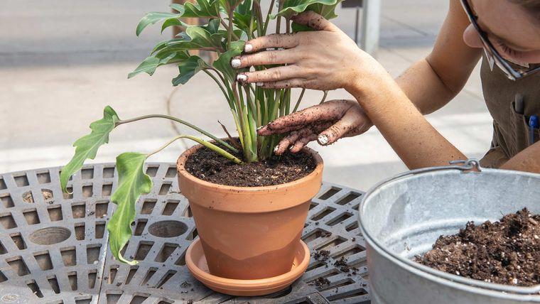 cómo trasplantar una planta con cuidado