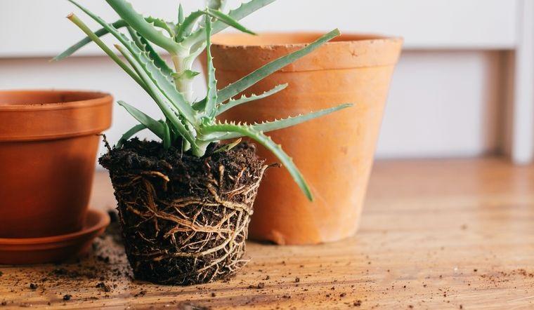 cómo trasplantar una planta correctamente