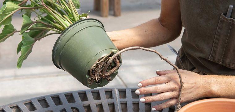 cómo trasplantar una planta cuidar raices