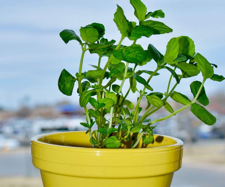 cómo trasplantar una planta en otra maceta