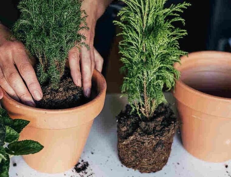 cómo trasplantar una planta mantenerla saludable