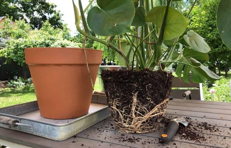 cómo trasplantar una planta nuevo lugar