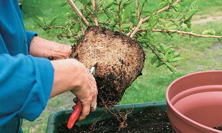 cómo trasplantar una planta para mantenimiento