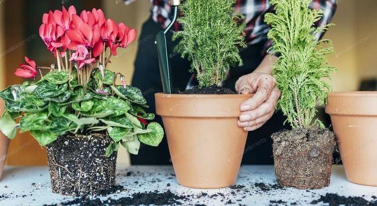 cómo trasplantar una planta para que florezca