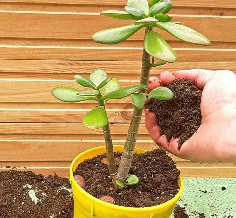 cómo trasplantar una planta suelo fertil
