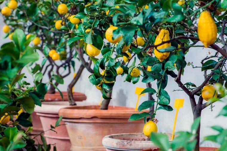consejos-cultivo-limones-casa
