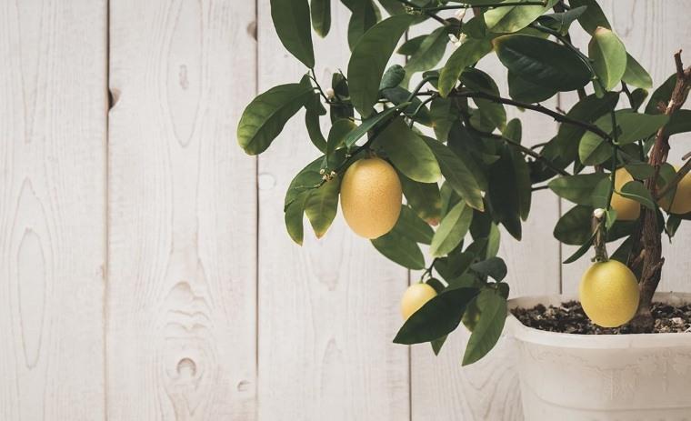 consejos-cultivo-limones-maceta