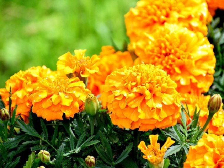 flores-de-otono-consejos-clavel-de-moro