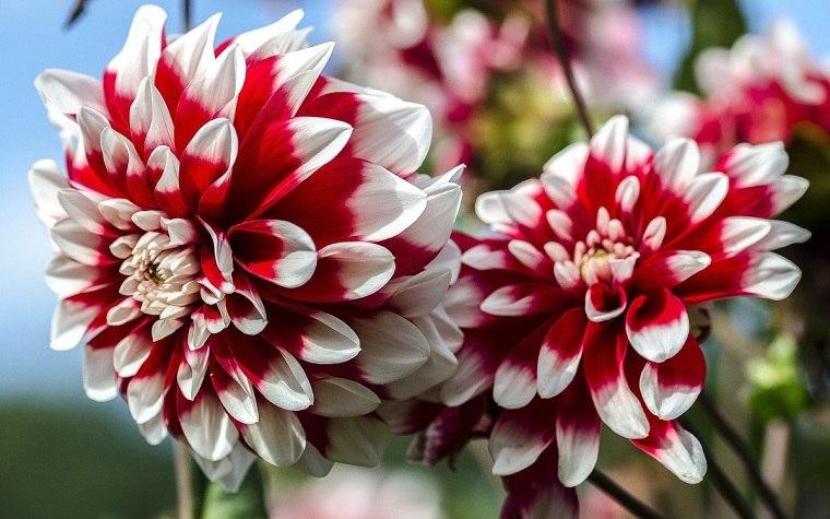 flores-de-otono-consejos-dalias-colores