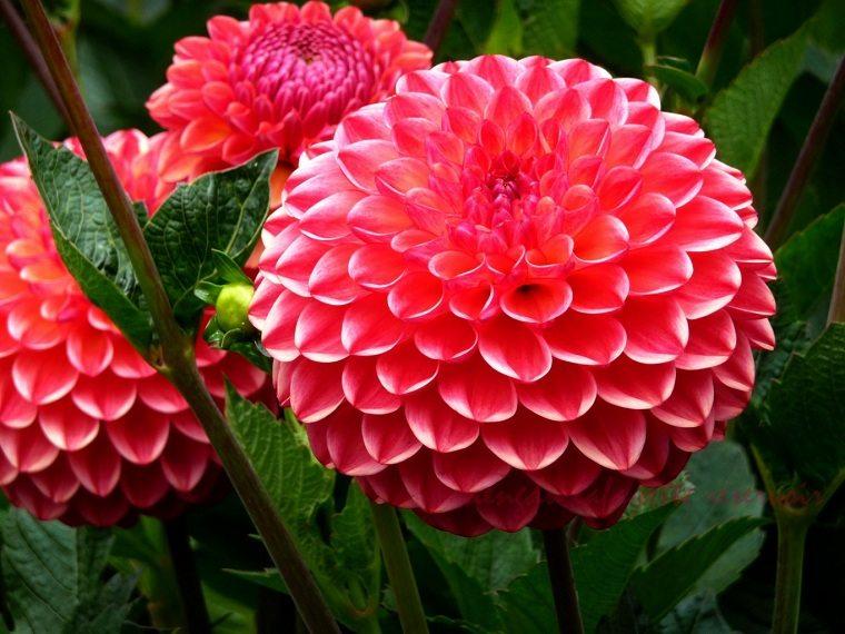 flores de otoño-consejos-dalias