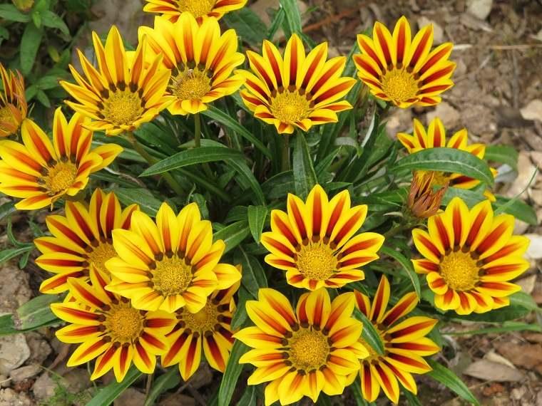 flores de otoño consejos-gazania