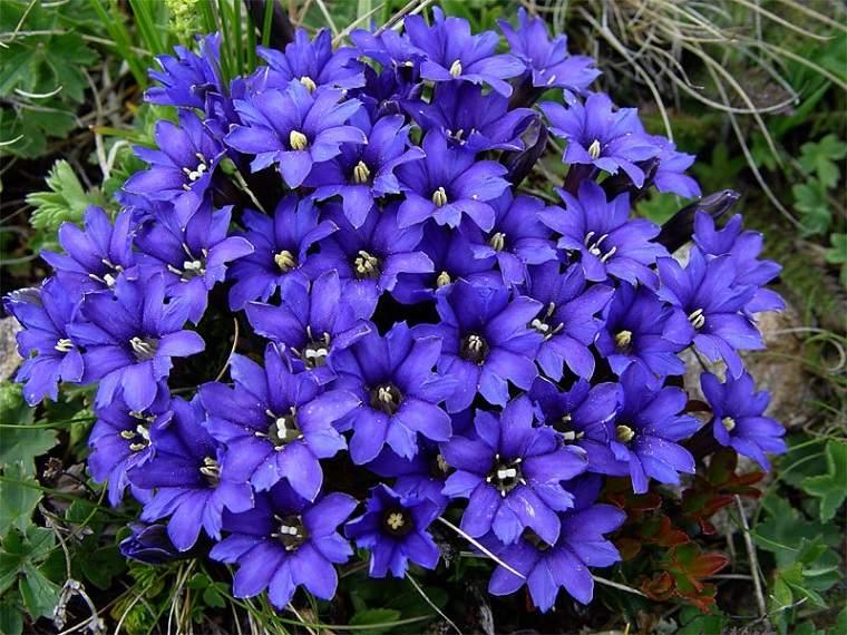 flores-de-otono-consejos-genciana