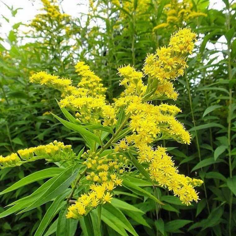flores-de-otono-consejos-mimosa-otono