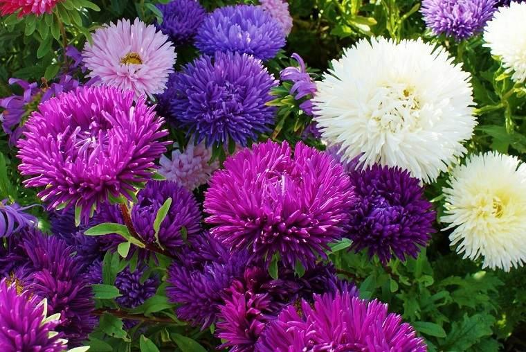 flores-de-otono-ideas-belleza-crisantemos-colores