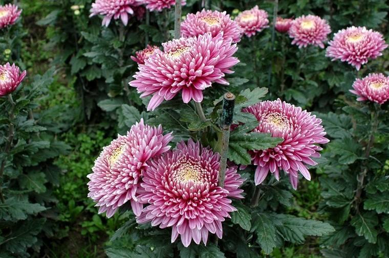 flores-de-otono-ideas-belleza-crisantemos