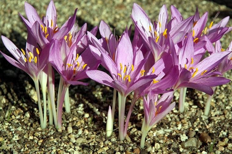 flores-de-otono-ideas-bulbos