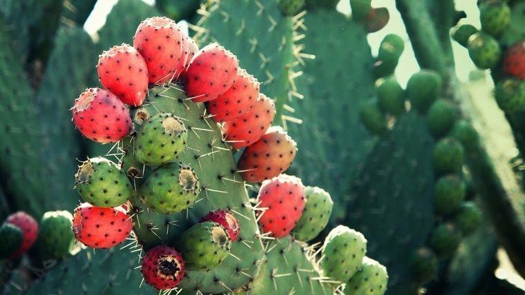 fruta de cactus beneficios para la salud