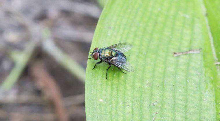 Insectos voladores – Cómo lidiar con las moscas en tu jardín