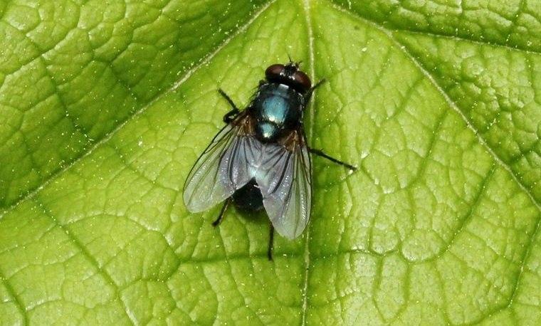 insectos voladores molestas moscas