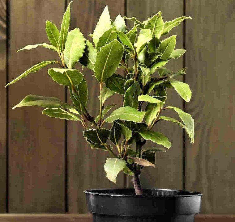 mini huerto en casa hojas de laurel