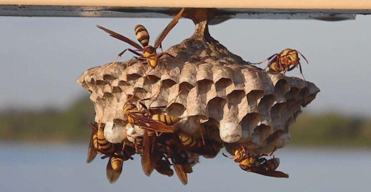 nido de avispas eliminarlo rapido