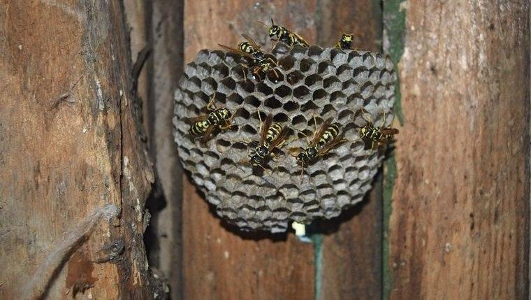 nido de avispas en jardin