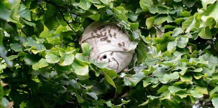 nido de avispas no acercase mucho