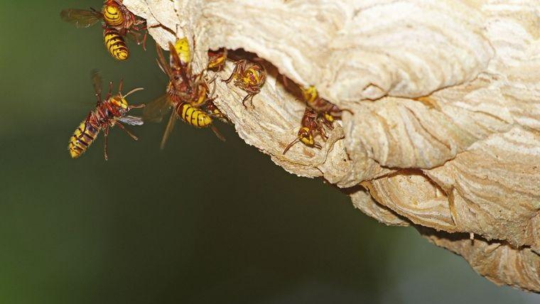 nido de avispas peligro de picaduras