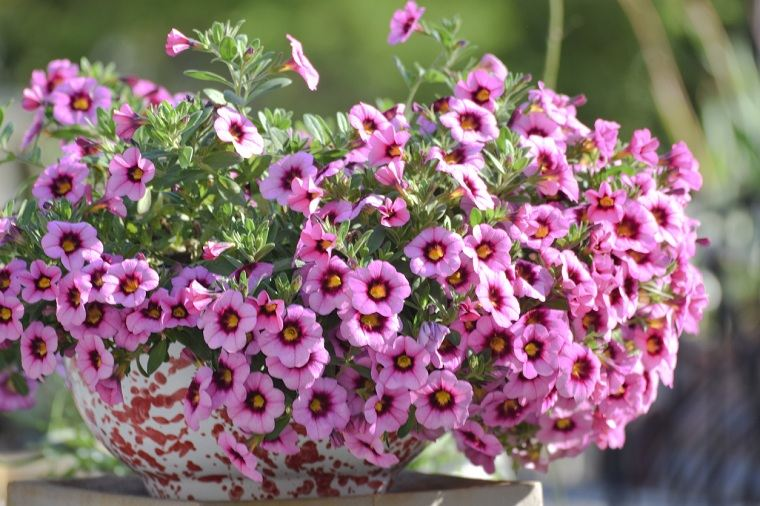 plantas-colgantes-calibrachoa-ideas