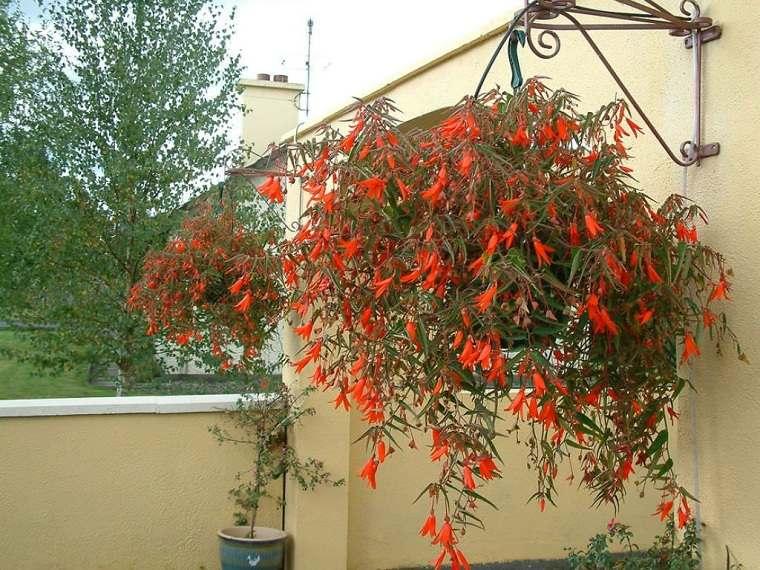 plantas-colgantes-de-exterior-begonia